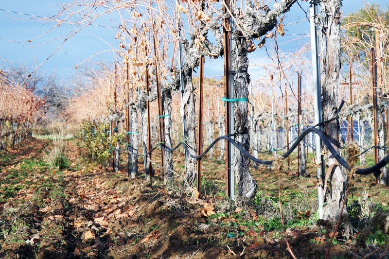 Vine with Drip Irrigation